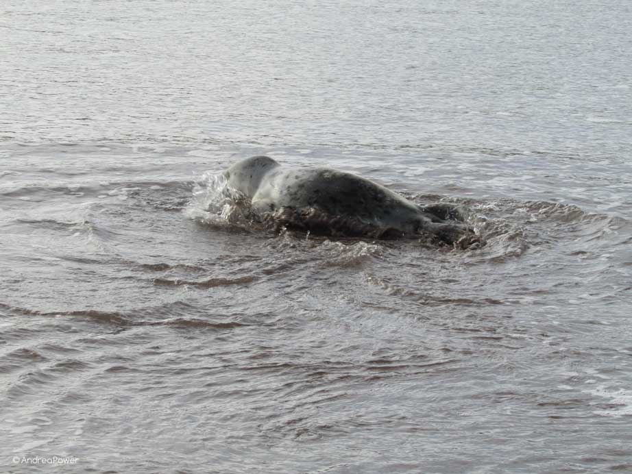 Andrea Power Dingle Artist's Seal Pup in the water on the Wild Atlantic Way